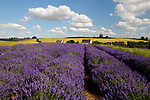 United Kingdom, England, Gloucestershire, Cotswolds, Snowshill: Cotswold Lavender (Lavandula) | Grossbritannien, England, Gloucestershire, Cotswolds, Snowshill: bluehender Cotswold Lavendel (Lavandula)