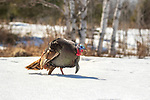 Tom turkey walking in the deep northern Wisconsin snow.