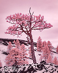 Volcanic Ponderosas (Infrared).  This image was captured from the base of Sunset Crater while an early spring snowstorm was in progress in the volcanic field north of Flagstaff, Arizona.  The lava flows and cinder cones here provide a harsh environment for ponderosa pines, but they hang on nonetheless.<br /> <br /> Image ©2021 James D. Peterson<br /> <br /> Tech info: Nikon D3200 camera (modified for infrared with 590nm filter), Nikon 18-140mm lens at 52mm, 1/400 sec. at f11, ISO 200