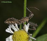 0910-06nn  Assassin Bug - Reduviidae spp. Virginia - © David Kuhn/Dwight Kuhn Photography