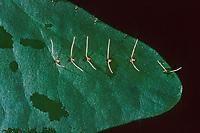 Stabwanze, Wassernadel, Ei, Eier, Ranatra linearis, Needle bug, water stick insect, egg, eggs, La Ranatre linéaire, Wasserinsekten