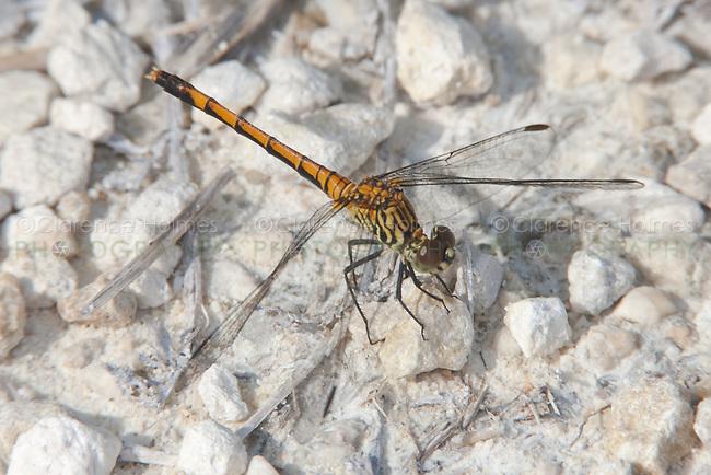 Seaside Dragonlet (Erythrodiplax berenice) Dragonfly - Female, Merritt Island National Wildlife Refuge, Titusville, Brevard County, Florida