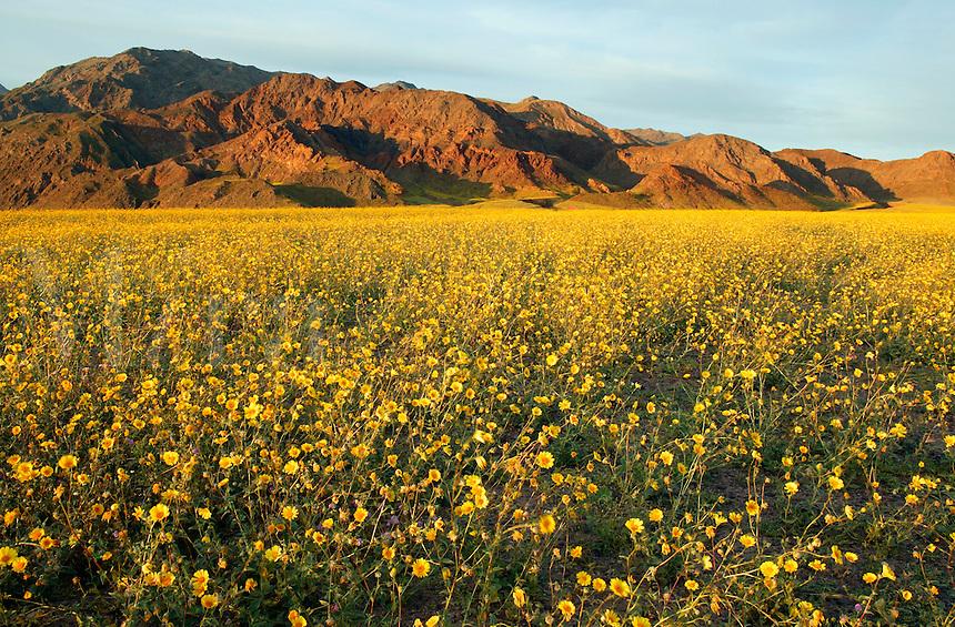 Fields of hairy desert sunflower, in Death Valley often called desert gold (Geraea canescens), near Ashford Mill, Death Valley National Park, California