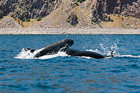 False-killer whales (Pseudorca crassidens) foraging off Isla San Esteban in the midriff region of the Gulf of California (Sea of Cortez, Pacific Ocean), Mexico