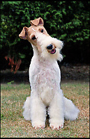 BNPS.co.uk (01202 558833)<br /> Pic: KennelClub/BNPS<br /> <br /> An adult Fox Terrier, only 122 puppies were born last year. <br /> <br /> Has this breed of dog had its day?<br /> <br /> There are fears the otterhound, Britain's rarest breed of dog, is on the verge of extinction after just seven puppies were born last year.<br /> <br /> While the coronavirus lockdowns sparked record sales of puppies like Labradors and French Bulldogs, the same can not be said for some traditional British species.<br /> <br /> Chief among them is the otterhound, one of Britain's oldest breeds that dates back to the 12th century.