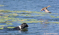 0222-1204  Tri-Colored English Springer Spaniel Hunting Dog Swimming in Water  © David Kuhn/Dwight Kuhn Photography
