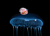 a small 1 inch female Paper Nautilus, Argonauta species, hitches a ride on a Jellyfish.  Photographed over deep water off Palm Beach, Florida.  Atlantic Ocean