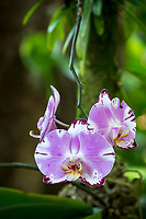 Purple and white orchids in bloom at at Hawaii Tropical Botanical Garden near Onomea Bay in Papa'ikou near Hilo, Big Island of Hawai'i.
