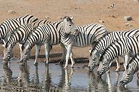 A Dazzle of Zebras at Chudob Water Hole near Namutoni in Etosha, Namibia