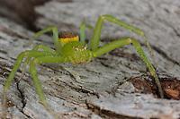 Grüne Krabbenspinne, Grünbraune Krabbenspinne, Diaea dorsata, green crab spider, crab spider, Krabbenspinnen, Thomisidae, crab spiders