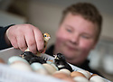 """25/03/16<br /> <br /> Zak Byra checks freshly-hatched rare breed chicks.<br /> <br /> Full story here:  <br /> <br /> http://www.fstoppress.com/articles/happy-hens/<br /> .<br /> FARMER Roger Hosking doesn't believe there is such a thing as a bad egg, especially when he's talking about youngsters who have already made some bad choices in life.<br /> <br /> So it seems particularly fitting that this Easter, traditionally a time to celebrate new beginnings, he will spend time with disadvantaged kids, counting and grading more than 20,000 eggs each day as part of his unique """"farm school"""" philosophy.<br /> <br />  <br />  <br /> <br /> All Rights Reserved: F Stop Press Ltd. +44(0)1335 418365   www.fstoppress.com."""