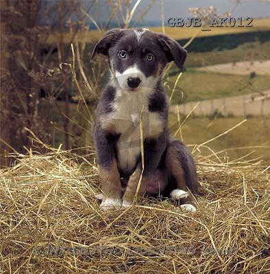 Kim, ANIMALS, dogs, photos(GBJBAK012,#A#) Hunde, perros