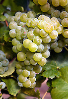 A cluster of SAUVIGNON BLANC grapes ripens of the vine at JOULLIAN VINEYARDS - CARMEL VALLEY, CALIFORNIA