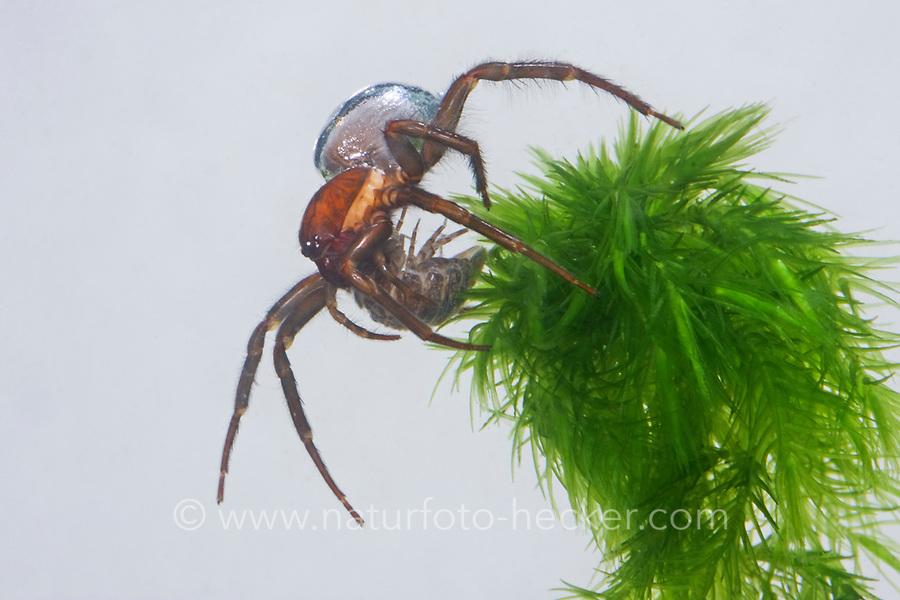 Wasserspinne, Wasser-Spinne, Silberspinne, mit erbeuteter Wasserassel, Argyroneta aquatica, diving bell spider, water spider, l'Argyronète