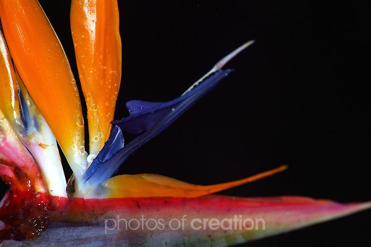 Flower - Bird of Paradise - Srelitzia