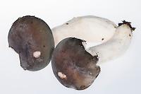 Blaugrüner Reif-Täubling, Blaugrüner Reif-Täubling, Blaugrauer Reiftäubling, Graublauer Reiftäubling, Täubling, Täublinge, Russula parazurea, Powdery Brittlegill, Powdery Brittlegill mushroom
