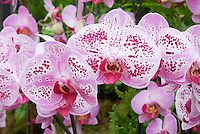Phalaenopsis Moth Orchid, pink spotted