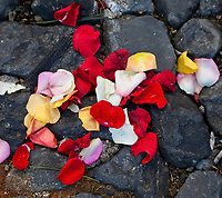 Antigua, Guatemala. Rose petals lie among cobblestones, remains of an alfombra (carpet) of flowers, pine needles, and other traditional materials decorating the street in advance of the passage of a procession during Holy Week, La Semana Santa.