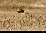 Northern Harrier Hunting, Bosque del Apache Wildlife Refuge, New Mexico