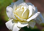 A white rose lays against a muted background.