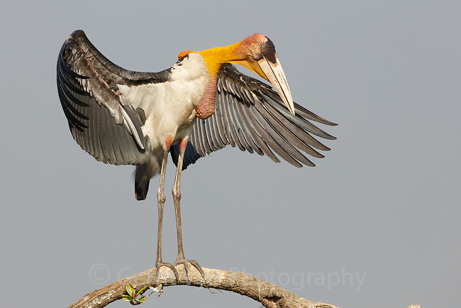 Greater Adjutant displaying in nesting colony. Assam, India.