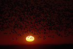 Flock of Sandhill Cranes at sunset over the Platte River, Nebraska
