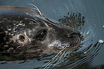harbor seal, close-up of face and whiskers facing right