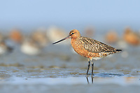 Bar-tailed Godwits (Limosa lapponica) of the Alaskan breeding subspecies L. l. baueri roosting on Yellow Sea mudflats at high tide. Yalu jiang, China. April.