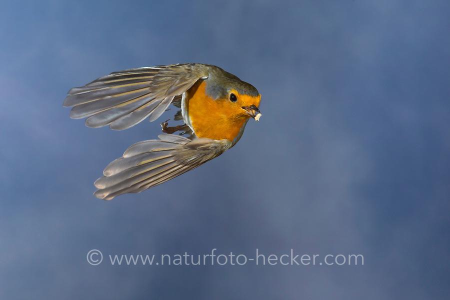 Rotkehlchen, fliegend, im Flug, Flugbild, mit Vogelfutter im Schnabel, Erithacus rubecula, robin, European robin, robin redbreast, flight, flying, Le Rouge-gorge familier