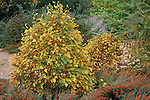 12766-CD Dwarf River Birch, Betula nigra 'Fox Valley' or 'Little King', California Fuchsia and Coreopsis, in October at Mourning Cloak Ranch, Tehachapi, CA USA