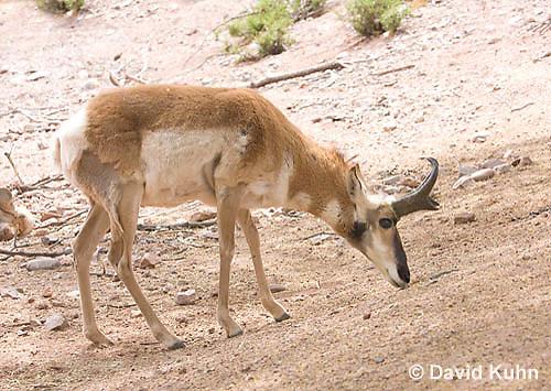 0606-1108  Pronghorn (Prong Buck) in Sonoran Desert, Antilocapra americana  © David Kuhn/Dwight Kuhn Photography