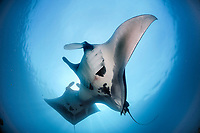oceanic manta rays (Manta birostris) feeding on plankton North Raja Ampat, West Papua, Indonesia, Pacific Ocean | Riesenmanta  (Manta birostris) Raja Ampat, West Papua, Indonesien, Pazifischer Ozean