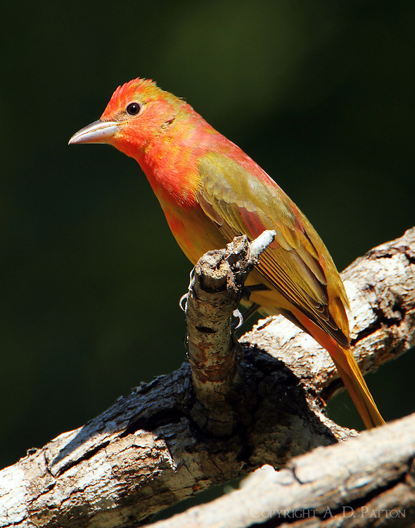 First spring male summer tanager