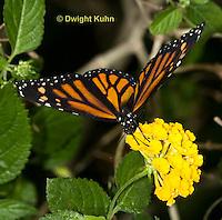 M001-500z  Monarch Butterfly,  Danaus plexippus