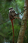 An emperor tamarin climbs a tree in Manu National Park, Peru.