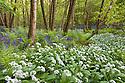Wild garlic / Ramsons {Allium ursinum} and bluebells {Endymion nonscriptus} flowering in deciduous woodland, Peak District National Park, Derbyshire, UK, May