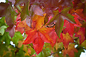 Autumn foliage of Liquidambar styraciflua 'Burgundy', early November.