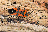 Ritterwanze, Ritter-Wanze, Lygaeus cf. equestris, Black-and-Red-bug, Knight bug, Harlequin bug, Bodenwanzen, Langwanzen, Lygaeidae, ground bugs