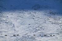 Barren ground caribou in Atigun Canyon of the Brooks Range, Arctic, Alaska