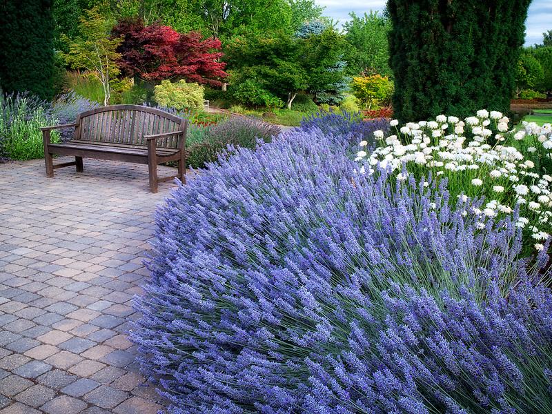 Lavendar and bench at Oregon Garden, Silverton, Oregon