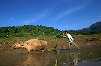 PHILIPPINES, Negros, organic farming, farmer ploughs paddy field with white water buffalo in village Sitio Tabidiao / Philippinen, Negros, biologischer Reisanbau, Bauer pfluegt Reisfeld mit weissem Wasserbueffel