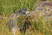 Hoary Marmot (Marmota caligata) gathering grass for winter hibernation nest/bed--it will use grass to line inside of burrow (this is not for food).  Northern Rocky Mountains.  Sept.