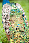 Las Terrazas, Cuba; tail feathers of a peacock on the grounds at Las Terrazas, peacocks are male peafowl birds