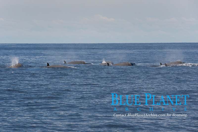 Northern Bottlenose Whale (Hyperoodon ampullatus) seven adult animals surfacing, rare unusual image. Azores, Atlantic Ocean MORE INFO: This was part of a group of 13 animals seen South of Pico Island, it is extremely rare to see so many Bottlenose Whales together.