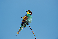 European Bee-eater, Merops apiaster, adult, Scrivia River, Italy, May 1997