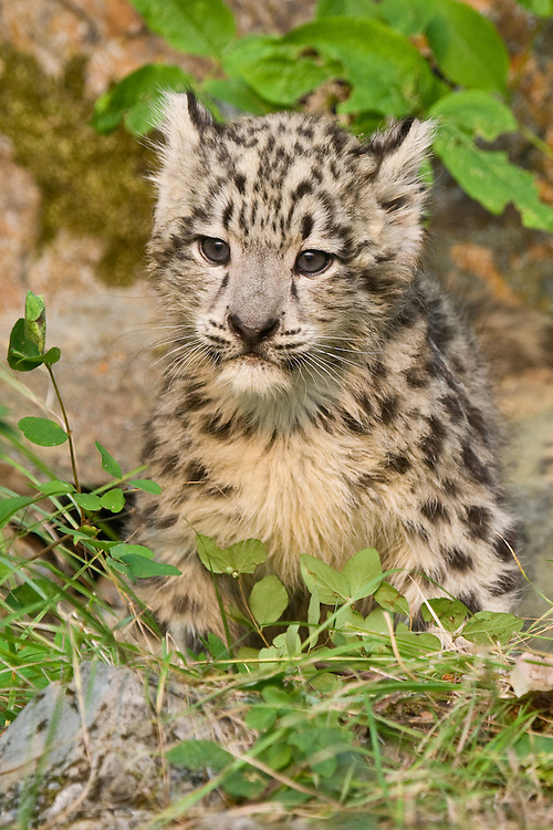Baby Snow Leopard sitting amongst some grass - CA