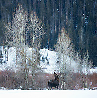 Bull moose in the eastern Lamar Valley were in the process of losing their antlers during this trip. This is a male that had already shed his rack.