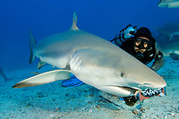 Caribbean reef shark swmming at camera, being fed by feeder in chainmail suit, Carcharhinus perezii, St Maarten, Sint Maarten, Netherland Antilles, Caribbean Sea, Atlantic