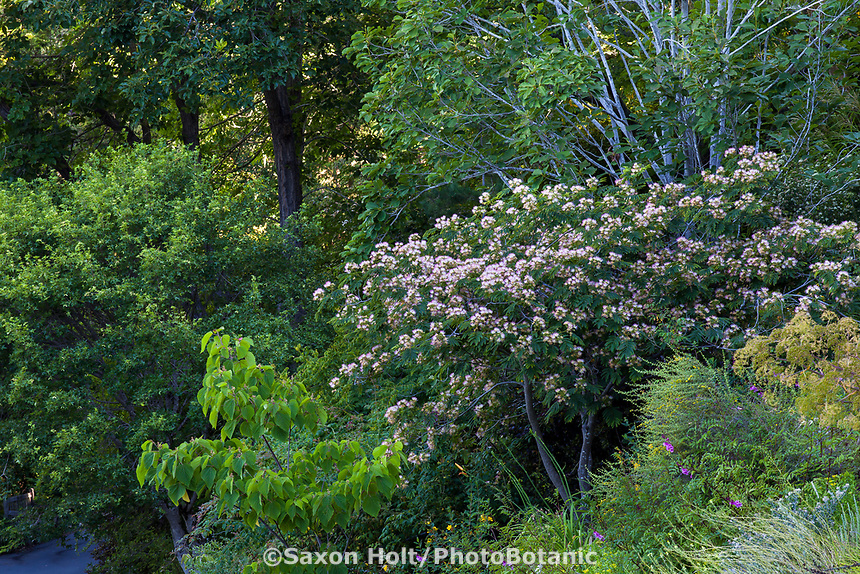 Albizia julibrisssin flowering Silk Tree (Mimosa) in University of California Berkeley Botanical Garden