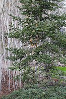 Abies concolor - White Fir, California native evergreen conifer tree, next to deciduous Quaking Aspen trees with white bark
